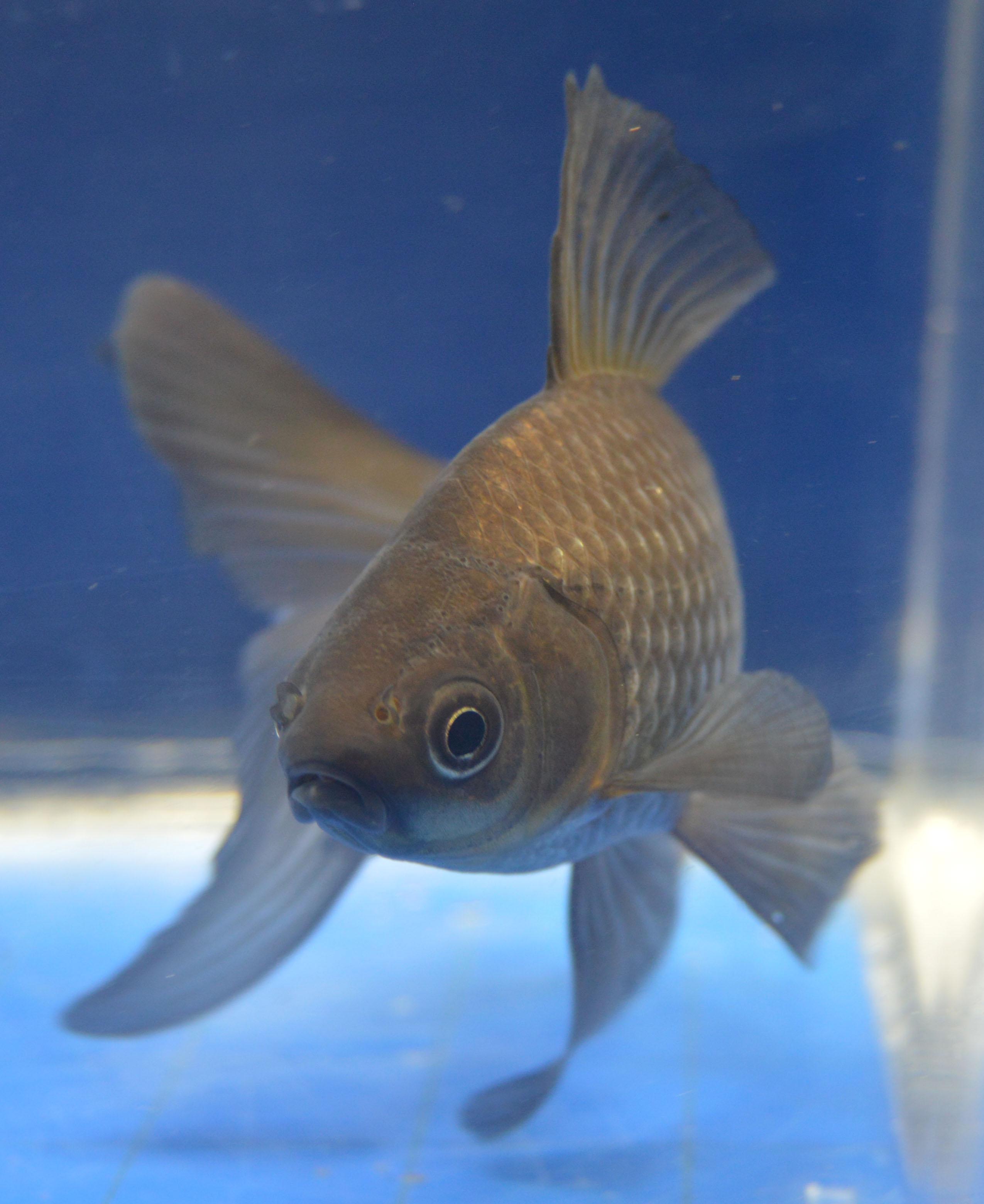 Watonai Goldfish For Sale In Rain Garden   Pics   Download  