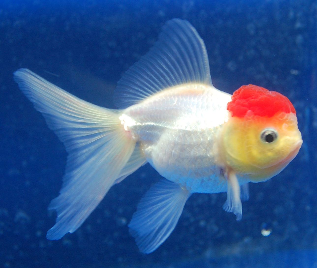 White Goldfish | Understanding Color In Goldfish Article