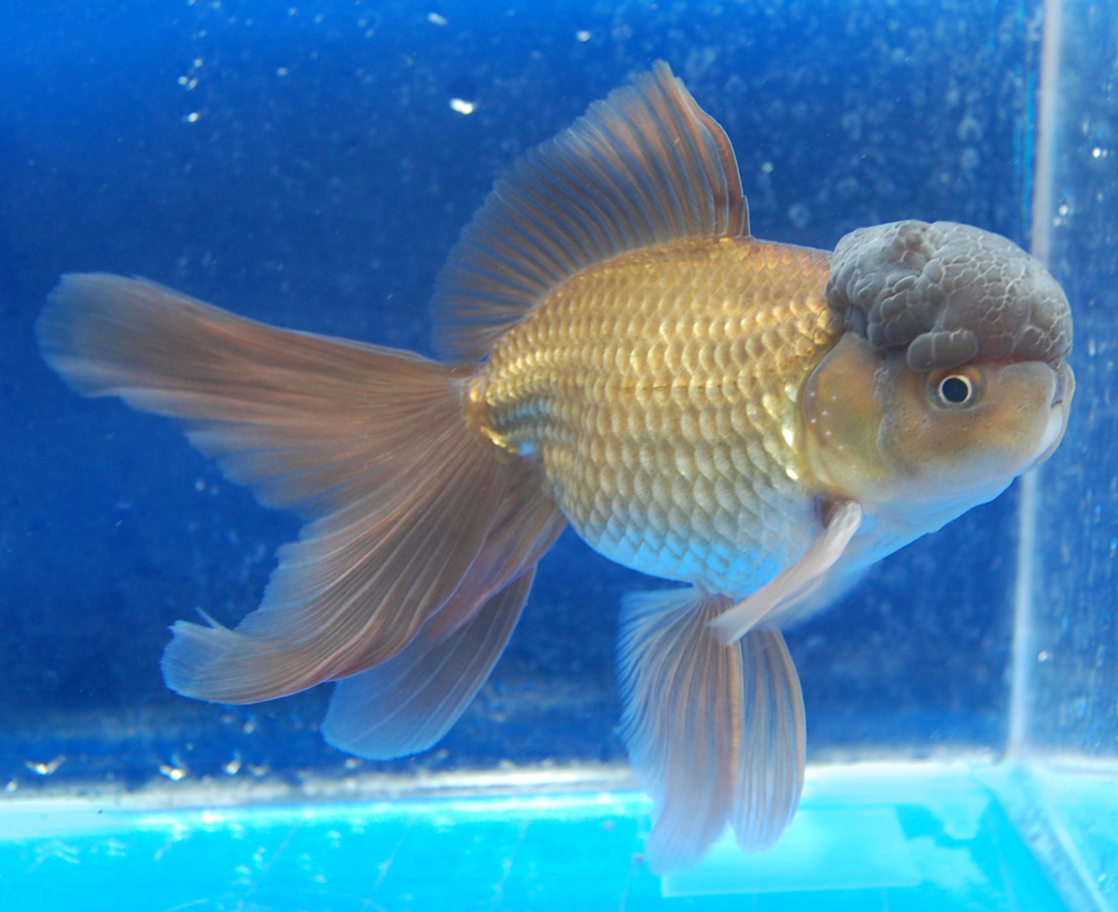 Understanding Color in Goldfish Article