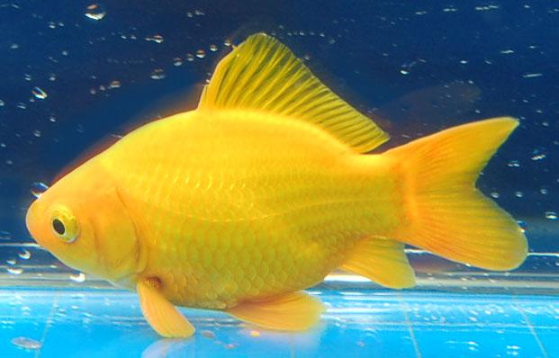 Orange Comet Goldfish Understanding color in goldfish article Black ...